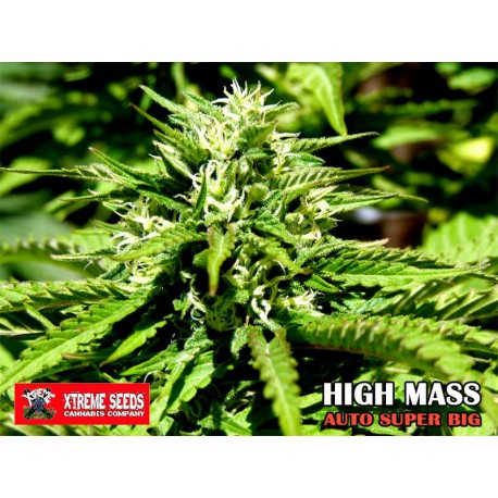 HIGH MASS (AUTO SUPER BIG)